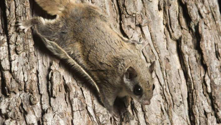 Attic Tenants: Flying Squirrels