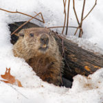 Groundhog Emerging from Snowy Den