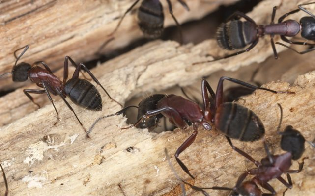 Is a Carpenter Ant Invasion on the Way?