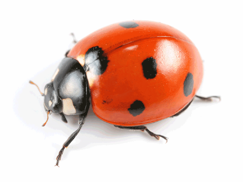 Lady bug pest control in ME, MA, and NH