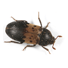 Larder beetle identification for pest control in ME, MA, and NH