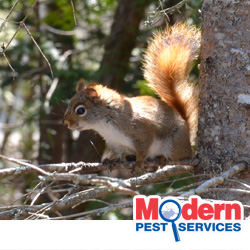 8e12bff1 Squirrels Are Entering New England Homes - Modern Pest