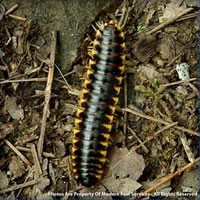 Millipede identification for pest control in ME, MA, and NH