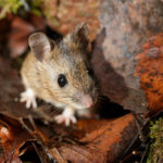 mouse in leaf litter