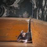 Mouse crawling through hole in wall in home