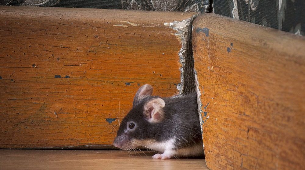 Mice Prevention Learn How A Mouse Enters A House