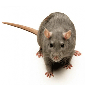 Norway rat identification for pest control in ME, MA, and NH