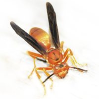 Paper wasp identification for pest control in ME, MA, and NH