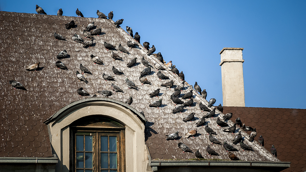 Pigeons on the roof covered with bird droppings.