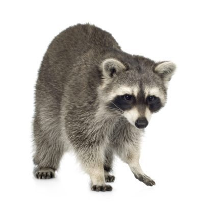 Raccoon identification for animal control in ME, MA, and NH