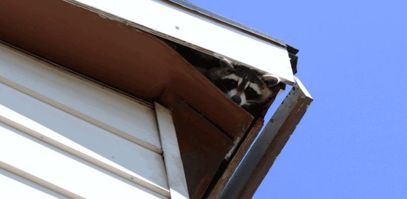 Are Raccoons Moving Into Your Attic?