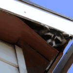 Raccoon peeking out of the roof of a home