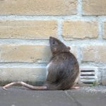 rat in the street