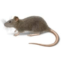 Rodents - Control, Extermination & Removal | Modern Pest