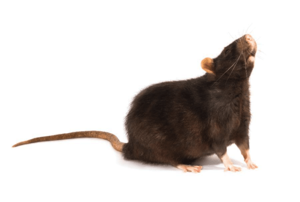 Rats are still on the Rise in the Northeast