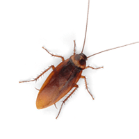 Roach identification for pest control in ME, MA, and NH