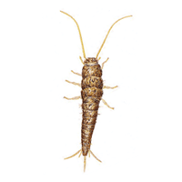 Silverfish identification for pest control in ME, MA, and NH