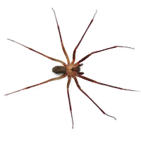 Sac spider identification for pest control in MA, ME, and NH
