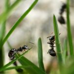 Selective focus. Ants walking on grass