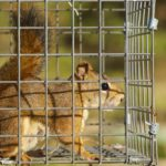 Squirrel in trap