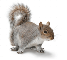 Grey squirrel wildlife control