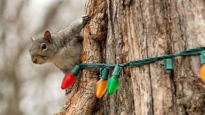 SQUIRRELS: The Scourge of Holiday Lights?