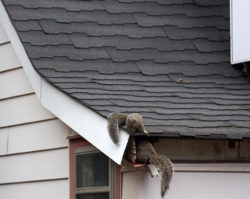 Squirrels infesting roof of home