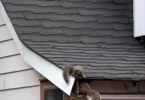 Are Squirrels Moving Into Your Walls and Attic for Winter?