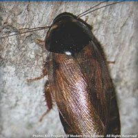 Protect your home from Surinam cockroach infestations