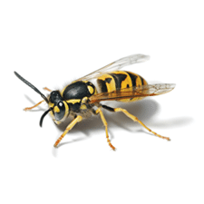 Wasp identification for pest control in ME, MA, and NH