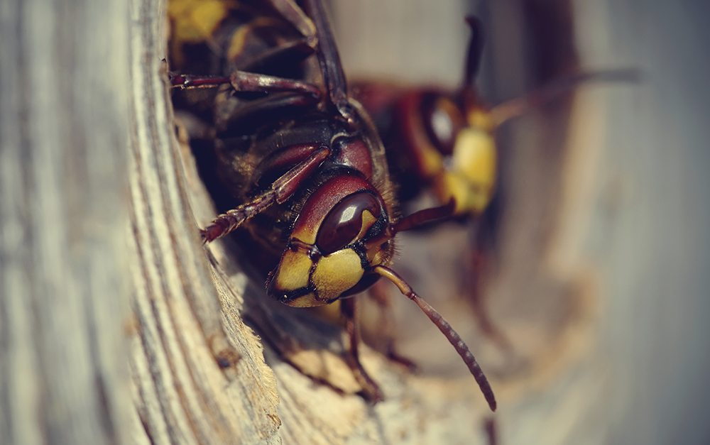 Two big wasps - hornets