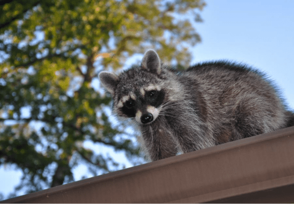 12 Signs That You Have a Problem with Skunks, Squirrels and Other Wildlife Control